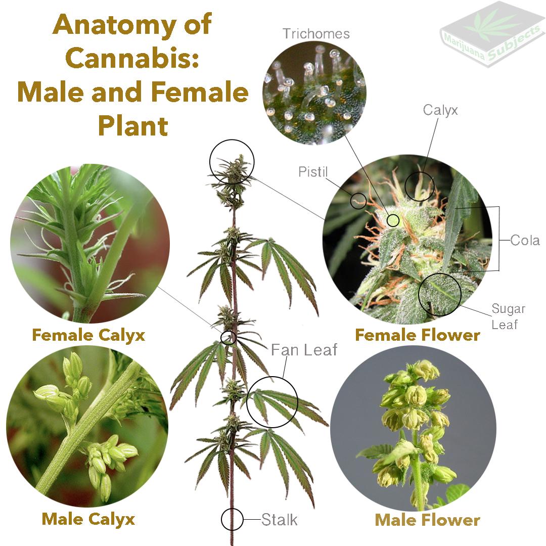 Anatomy of the Cannabis Plant – Marijuana Subjects
