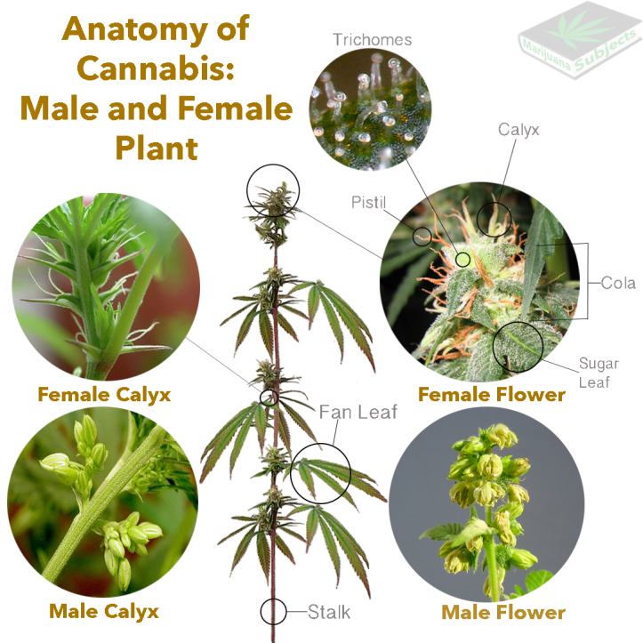 Anatomy of the Cannabis Plant – Marijuana Subjects
