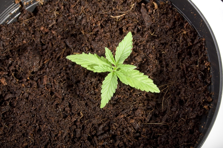 marijuana-seedling.jpg