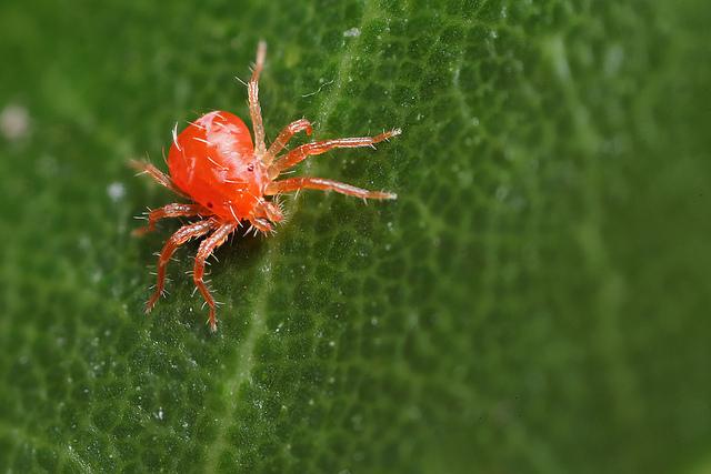 red-spider-mite-control
