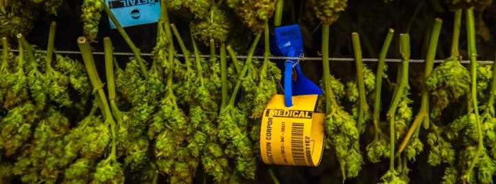 After trimming, pot is hung in racks in the Drying room